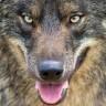 wolfdogmadrid