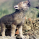 Geldwolfje