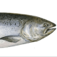 Cold Salmon