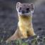 Doctor Weasel