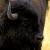 Sleepy Bison