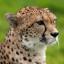 Cheetah444