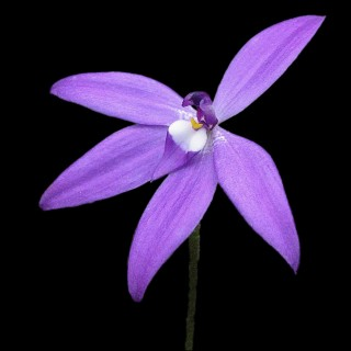 Australian Plants Society Yarra Yarra Group