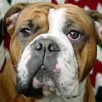 winsomebulldog
