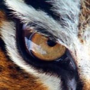 Tiger Fénix