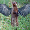 FlyingMongoose