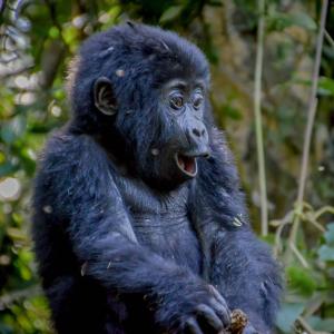Kabira Gorilla Trekking
