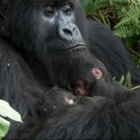 gorillasafaris