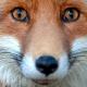 MsR.Fox