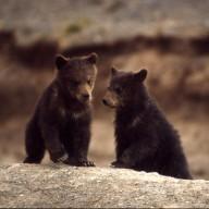 Bear_Kenobi