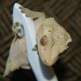 gnottinggecko