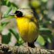 owletbird