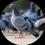 Birko Pigeon
