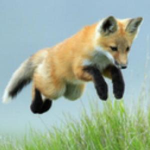 Fox Staff