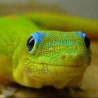 geckohale