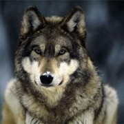 Photo of -Wolf