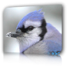 bluejay