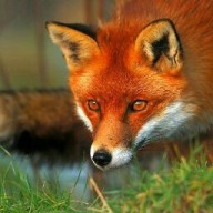 VeggieFox