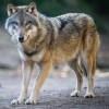 ysengrain wolf's picture