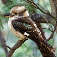 Kookaburra1966