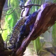 blueparukia
