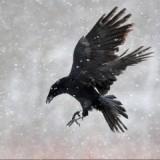 RavenSnowstorm