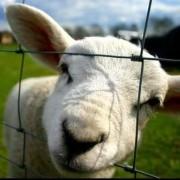 sheeppower
