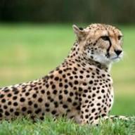 cheetah_fast