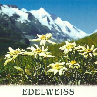 The Desert Edelweiss