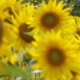 Profile picture of SunnySunflowers