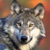 Greywulf