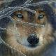 Englshredwolf