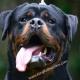 King Rottweilers LLC