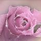 Barb Rose