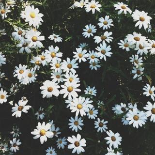 Daisy Putih