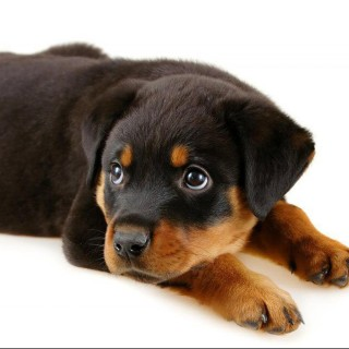 Is There Really A Mini Rottweiler I Love Rottweiler Puppies Blog