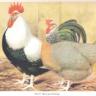 Hattie the Hen