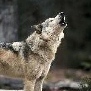 dakwolf55