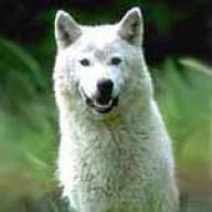 Arcwolf