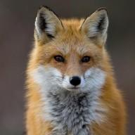 TheOddFox