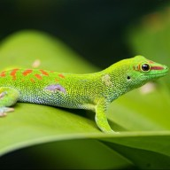 Geckolover