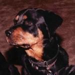 rottiedogs 1
