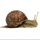 Dale Snail