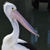PelicanPete16