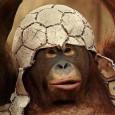 Khỉ Nâu