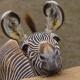zebraaa