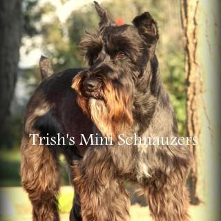 Trish's Mini Schnauzers
