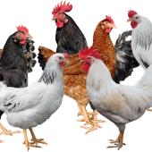 poultryfeedformulation