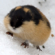 Gaming Lemming