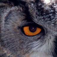 eag1e_owl